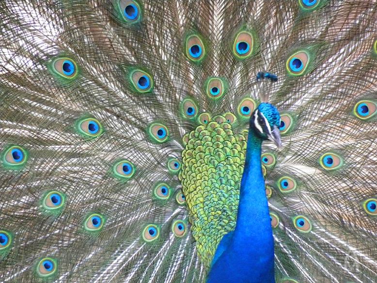 peacock09