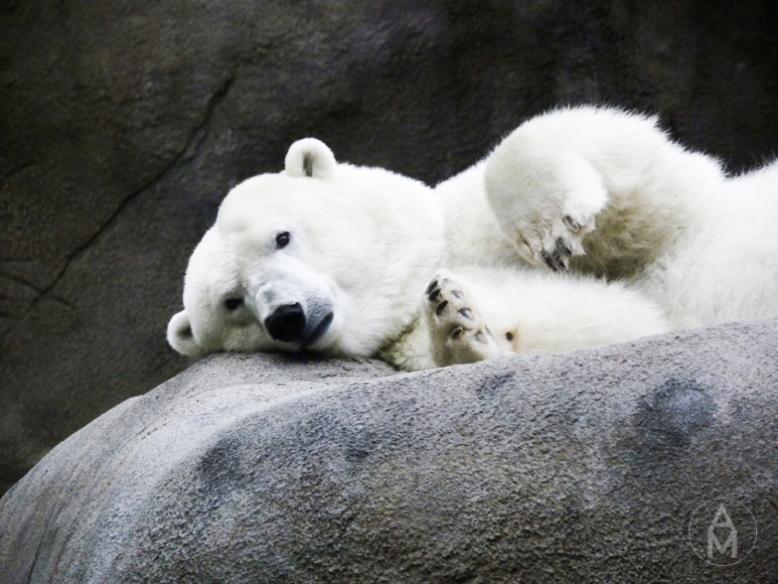 polar_bear09